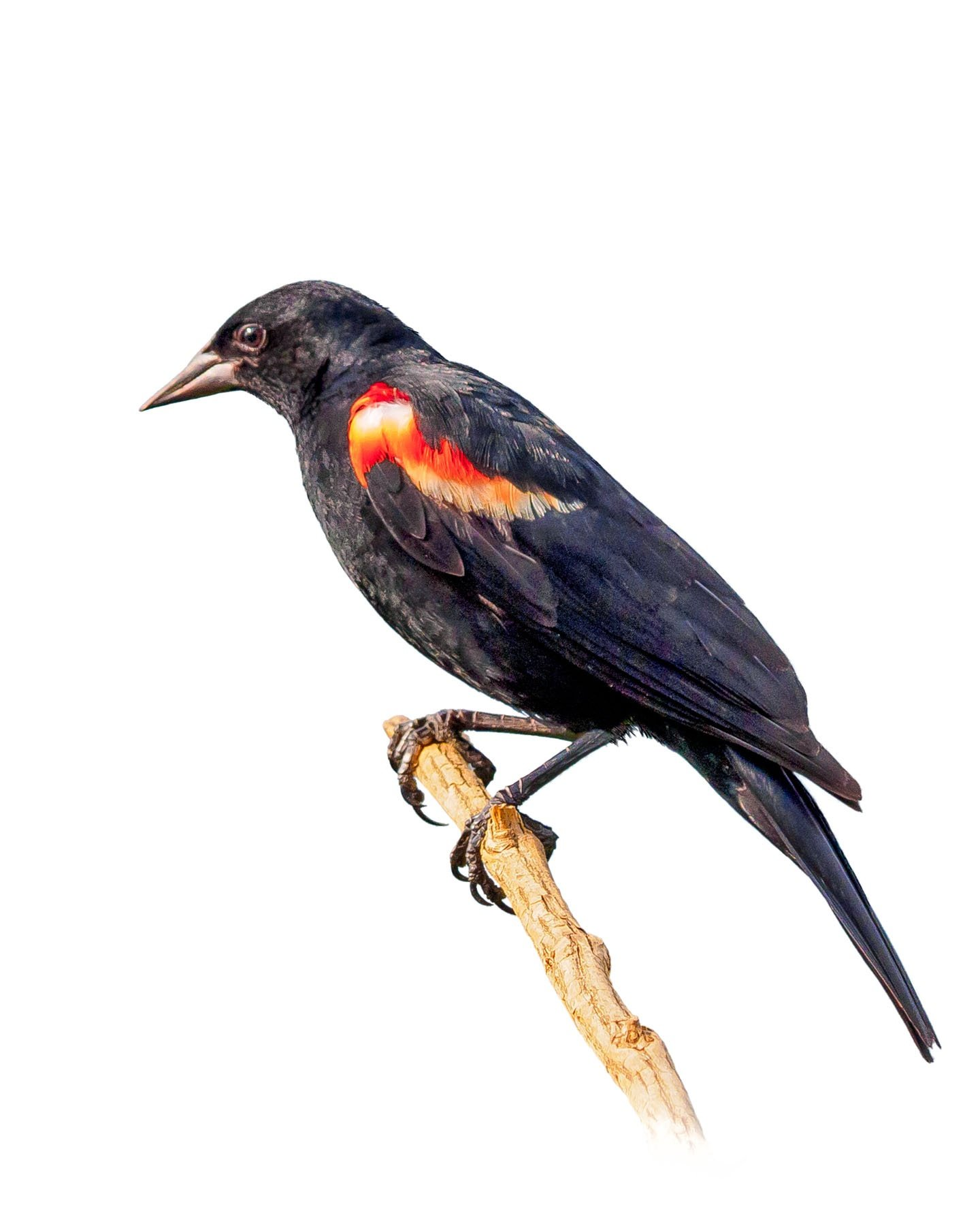 Red-winged Blackbird 7