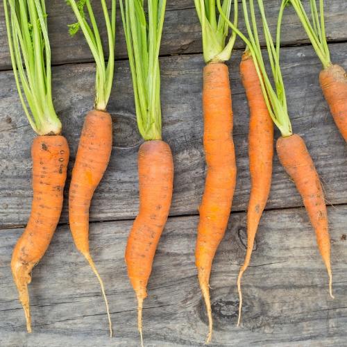 Carrot Fuerte