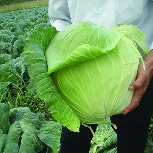 Cabbage Harvest Mist