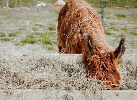 Alpaca Eating Hay