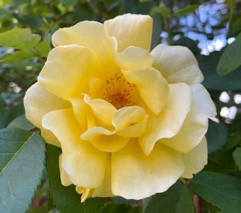 "Among Sunhee's 'first blooms', ""Golden Gate'..."