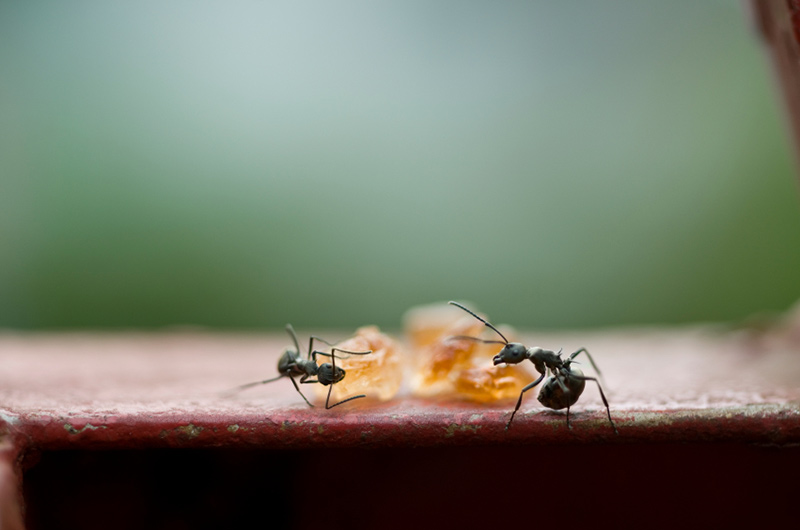 Black Ants searching for food