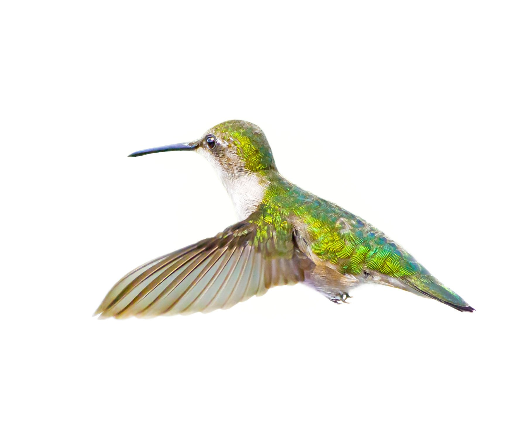 Ruby-throated Hummingbird female 18