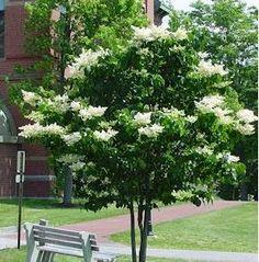 Hydrangea Tree