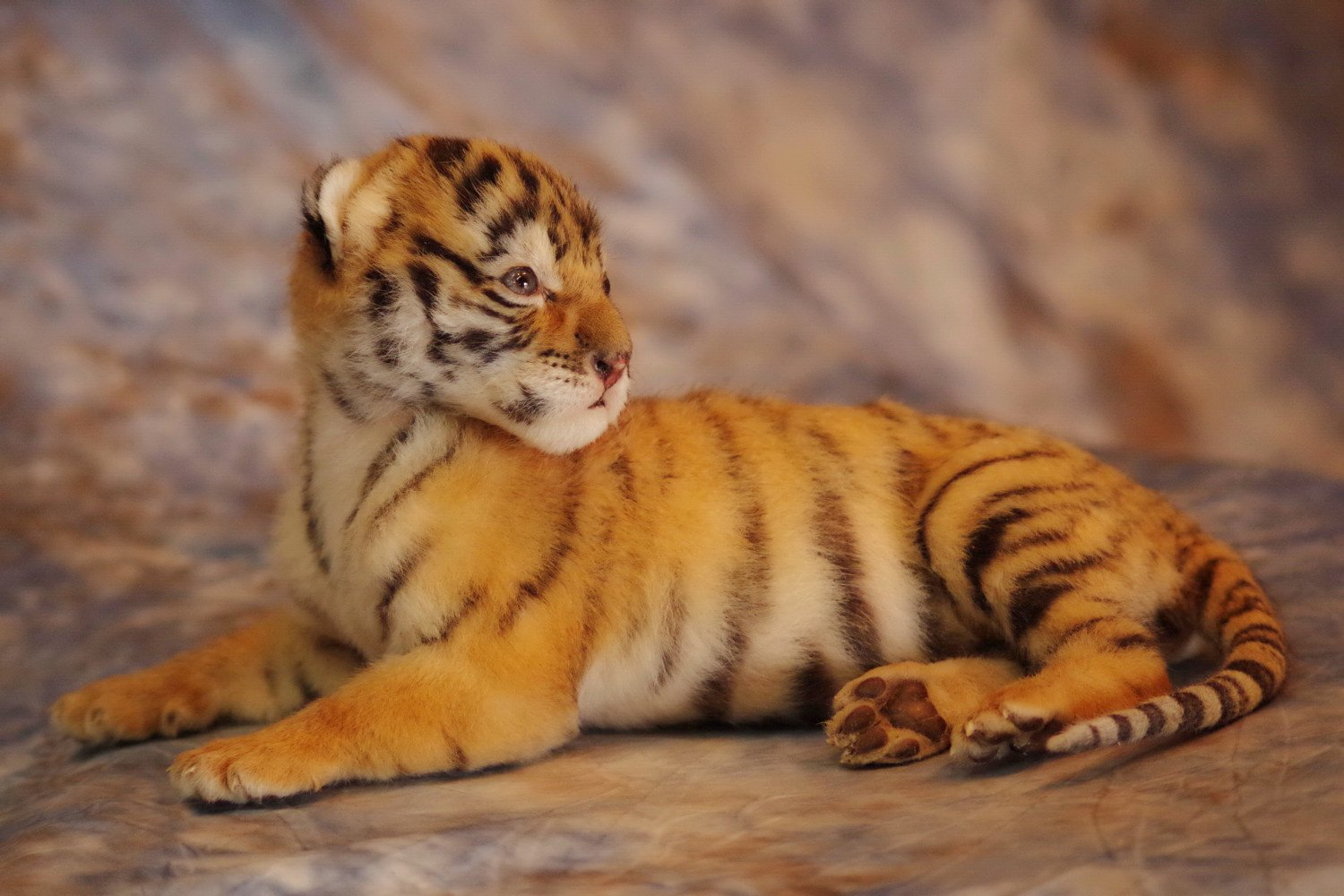 Donation - Dealer license # 43-c-0301. United States Dept. Agriculture.   We were commissioned to mount this stillborn, captive bred baby tiger for a museum in the Midwest that promotes world-wide tiger conservation.