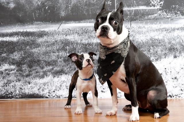 My Boston Babies - Home