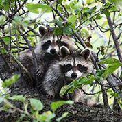 Raccoon Control Orlando Florida