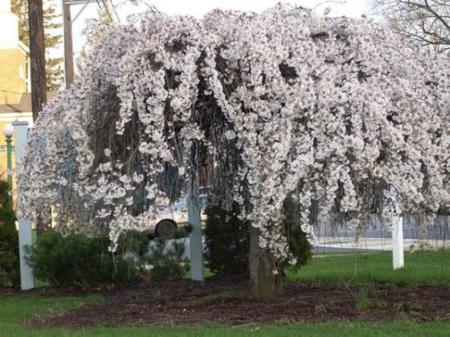 White Weeping Cherry