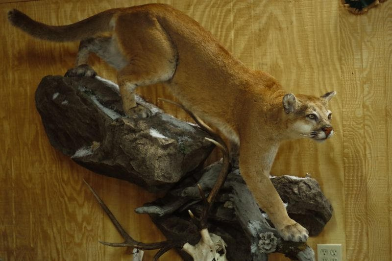 This lion actually killed the elk whose skull is incorporated into the custom base.