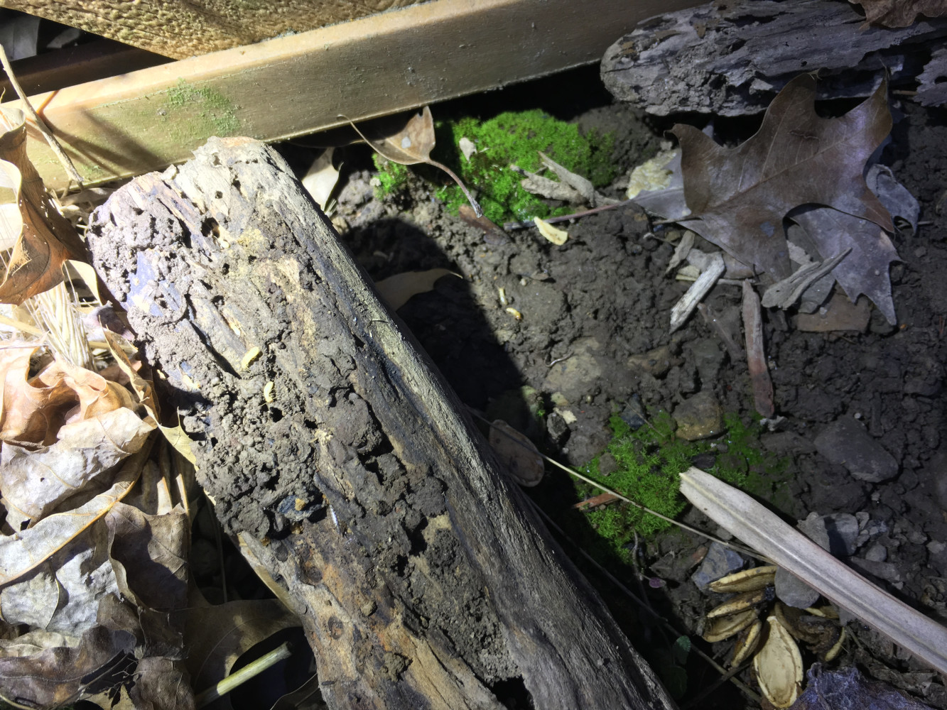 If you look closely you can see the white termite workers in the soil and on the log.