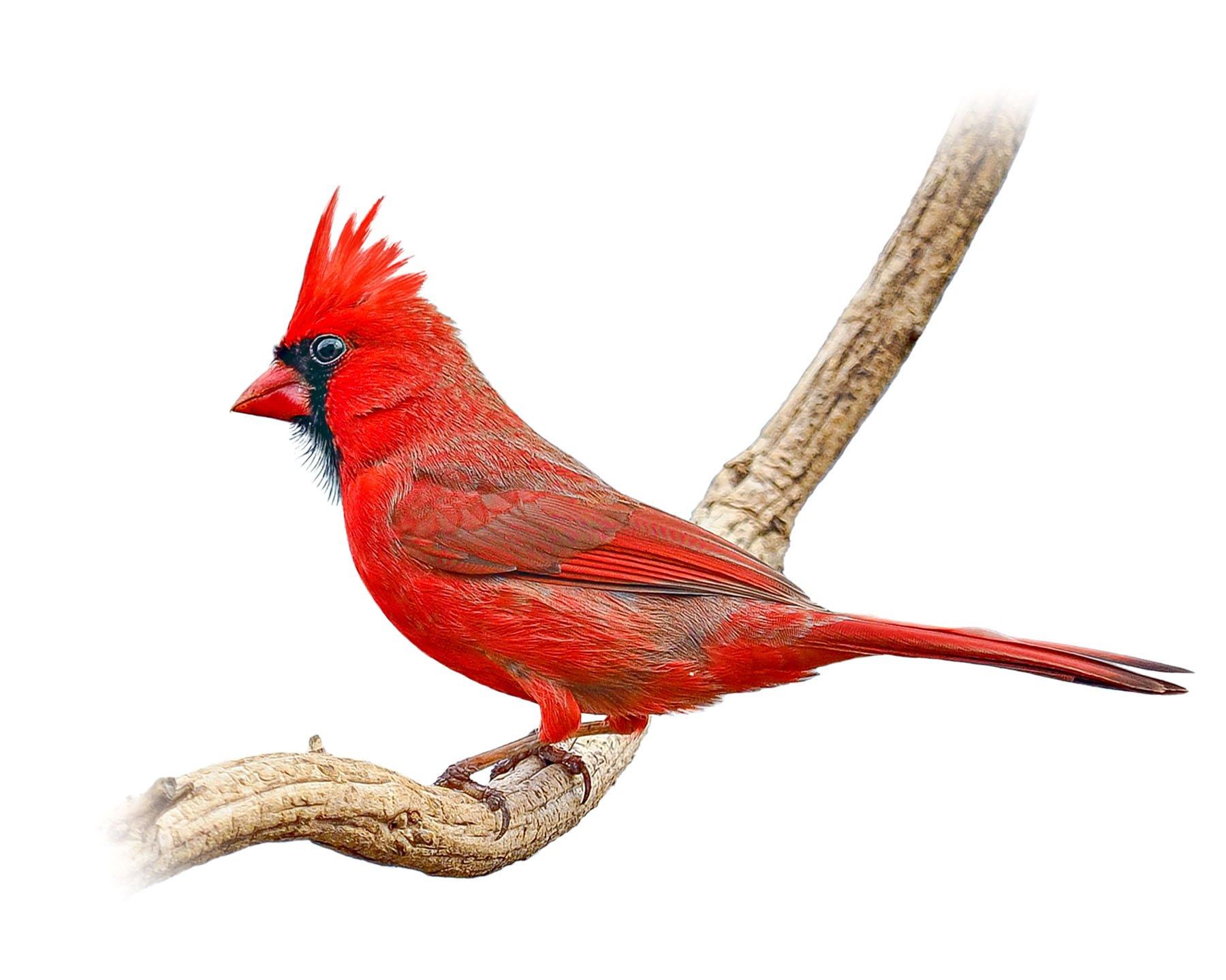 Northern Cardinal 9