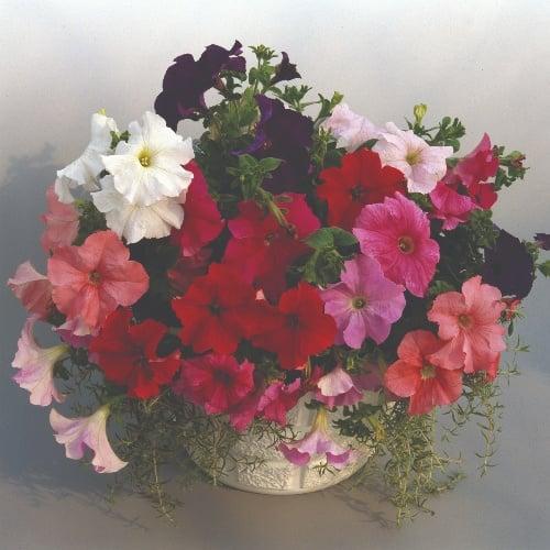 Petunia Grandiflora Supercascade F1 Mix