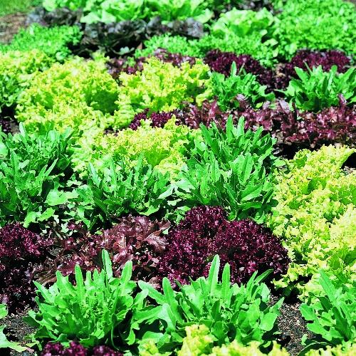 Greens Gourment Salad Blend