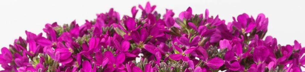 Arabis Blepharophylla, Rose Delight