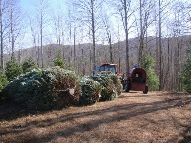 Several large trees waiting to be bailed.
