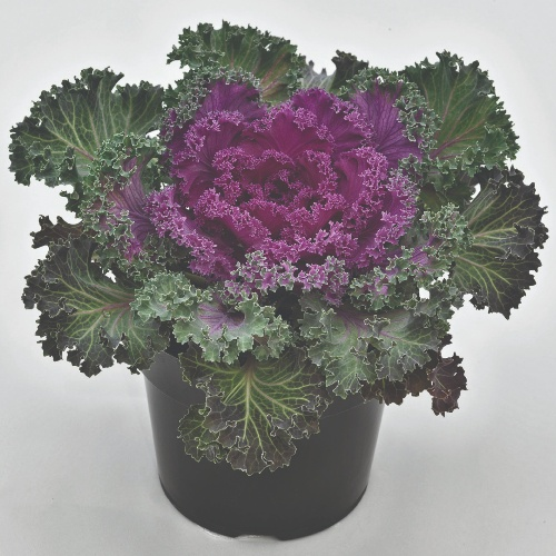 Ornamental Kale Nagoya F1 Red