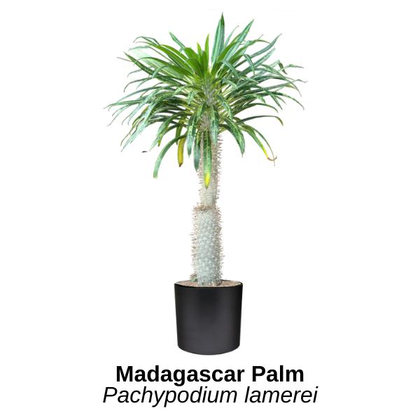 https://0201.nccdn.net/1_2/000/000/0a4/f42/madagascar-palm.png