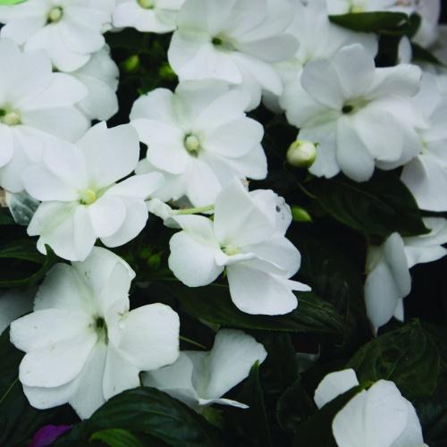 Florific White