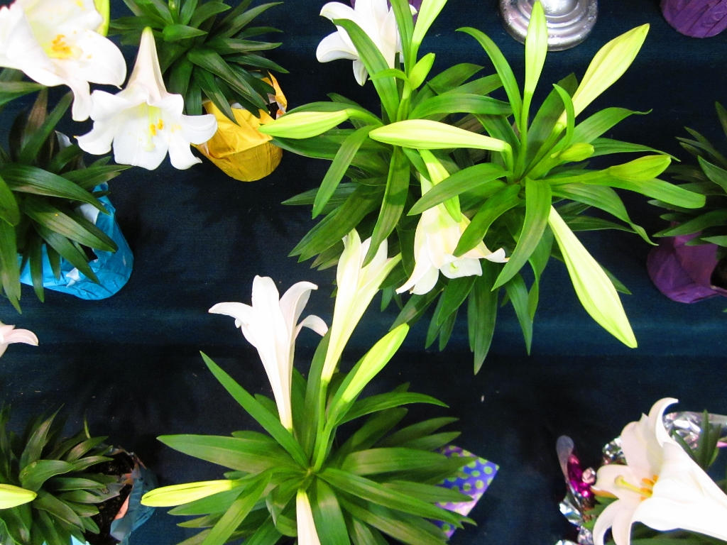 Our people donated lilies in memory or in honor of loved ones. Most of these were then taken to shut-ins.