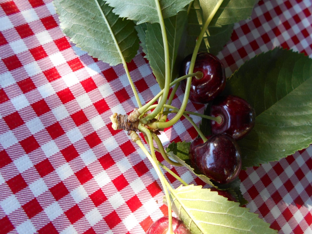 do not pick cherries with the spur and leaves, the wooden spur is where cherries will grow next year