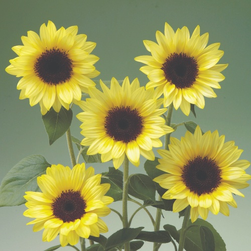 Sunflower Sunrich Summer F1 Limoncello