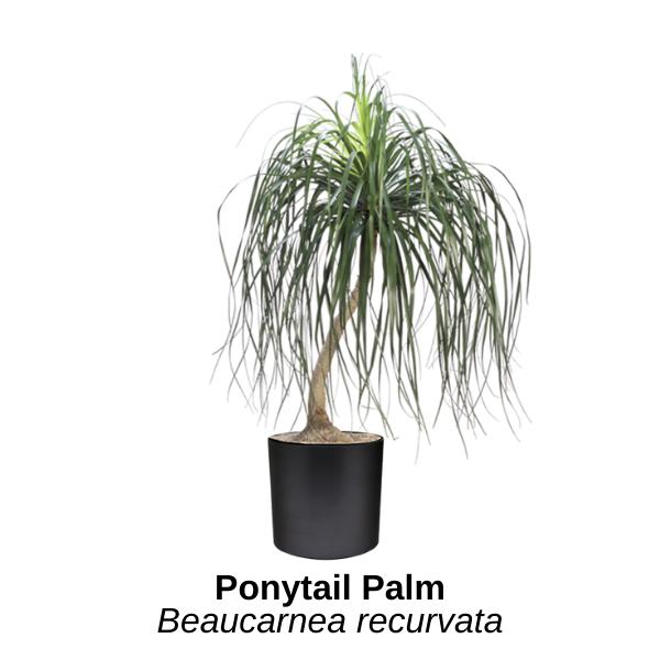 https://0201.nccdn.net/1_2/000/000/0a8/ca8/ponytail-palm.png