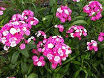 Amazon Dianthus
