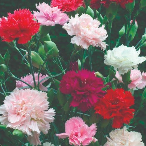 Chabaud Florist Mix