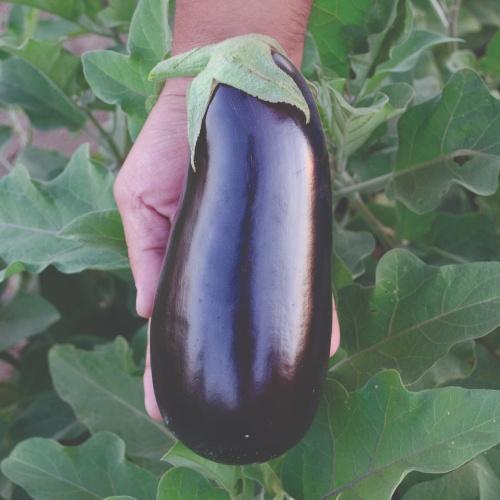 Eggplant Rhapsody F1