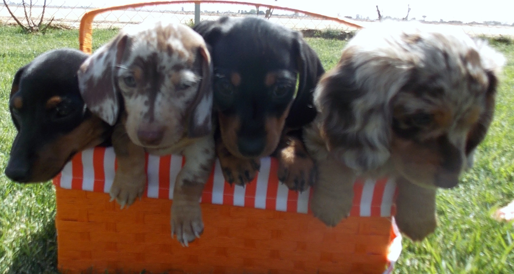 4 dachshund puppies in basket