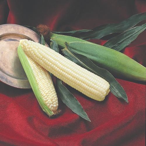 Sweet Corn White SU Silver Queen