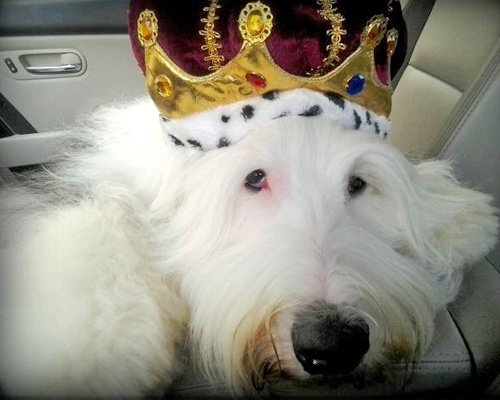 White Dog Wearing Crown