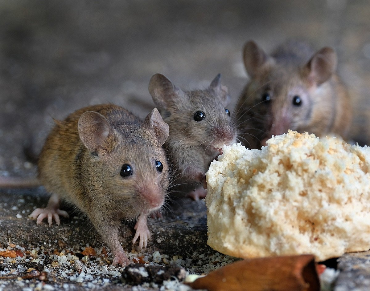 Rodent control by Garrie Pest Control Mice Eating Biscuit