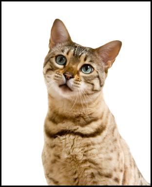Bengal cat||||
