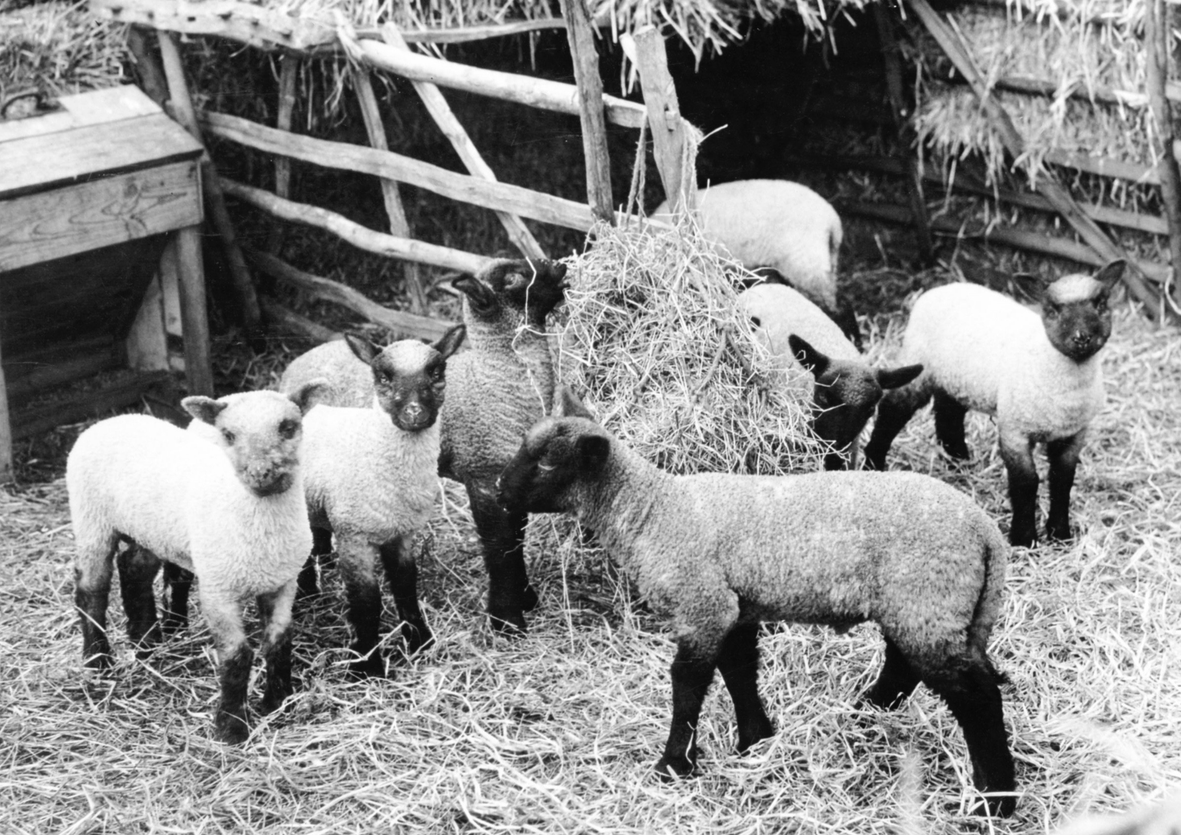Suffolk lambs at Lackford in 1958