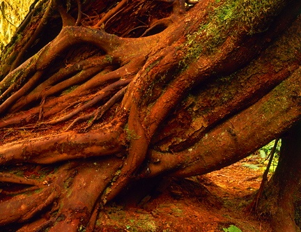 Hoh Nurse log and roots