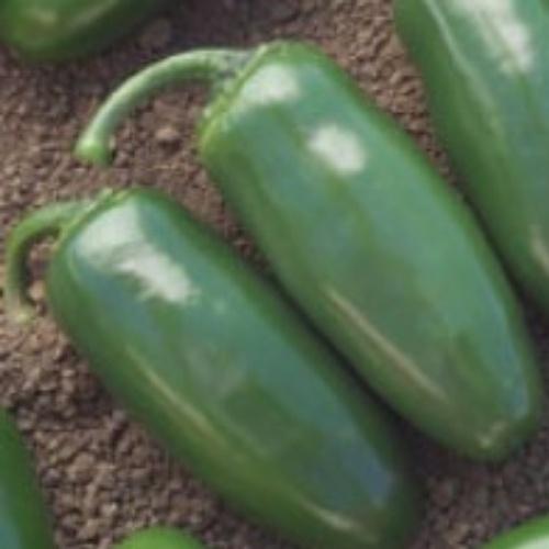 Hot Pepper Chichimeca
