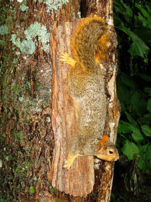 fox squirrel climbing down n bark slab base