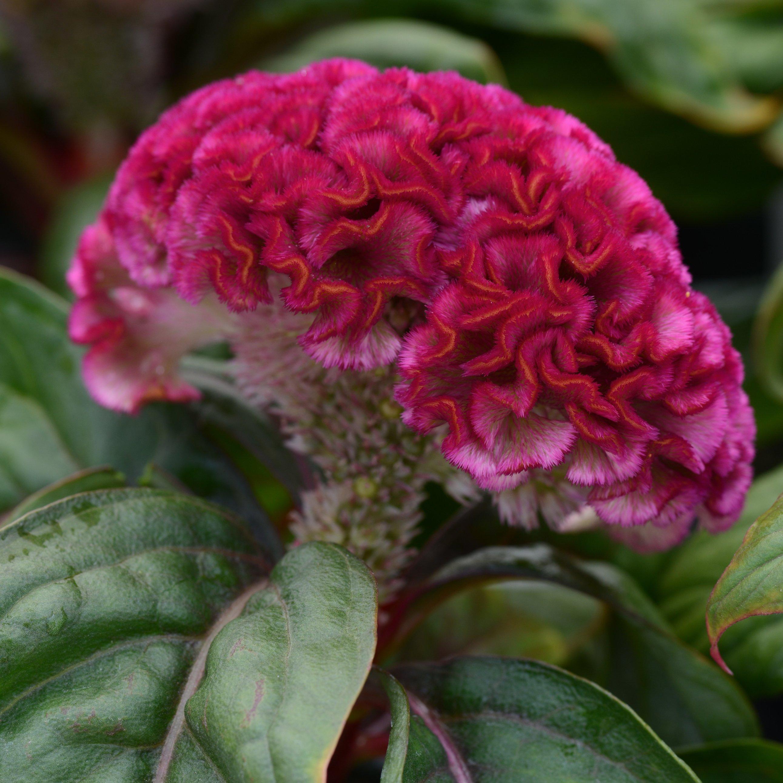 Celosia cristata, Concertina Pink