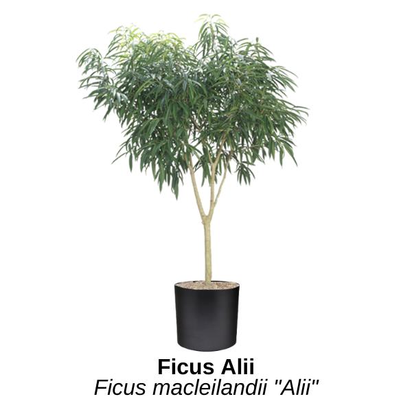 https://0201.nccdn.net/1_2/000/000/0b9/14a/ficus-alii.png