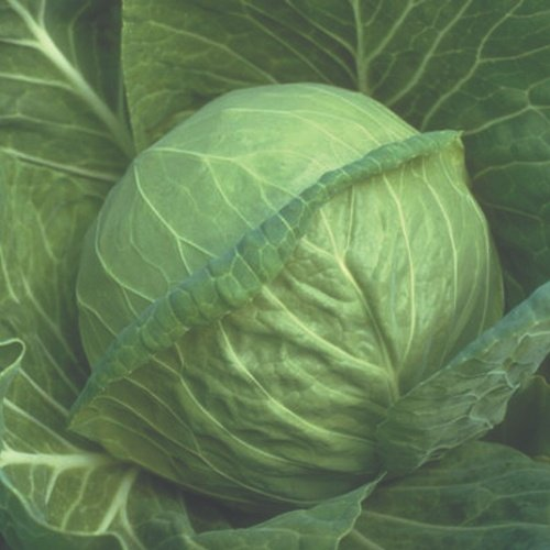 cabbage Early Green Fast Vantage F1