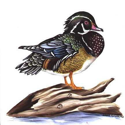 https://0201.nccdn.net/1_2/000/000/0b9/cf1/wood_duck.jpg