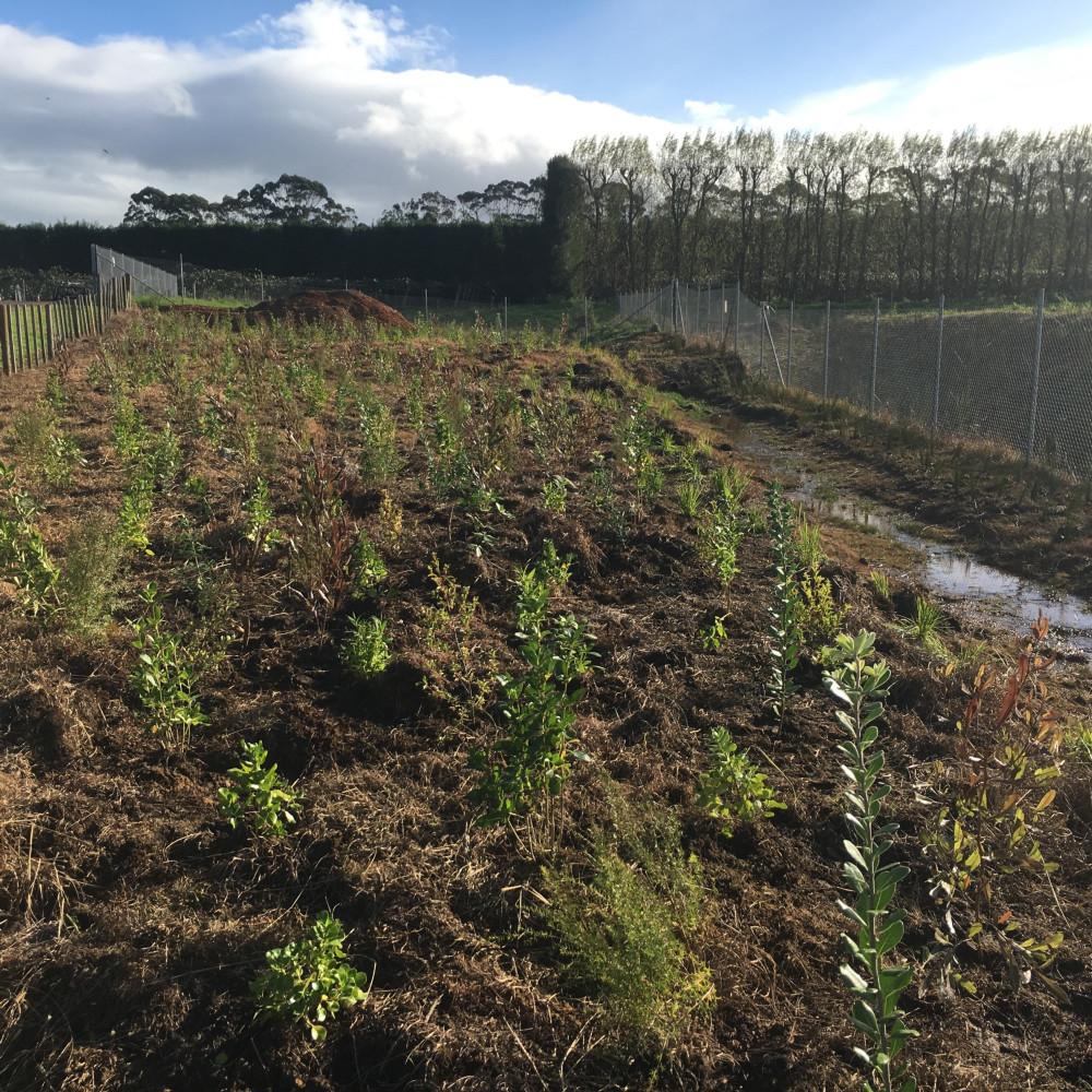 Katikati planting