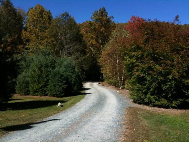 Looking down the entrance of the farm. You can see some of our larger white pines on the left.