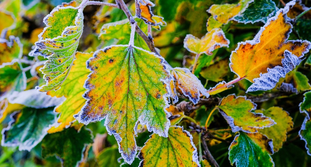 Frost on Yellow Leaves