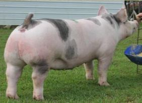 2014 Tennessee State Fair  Reserve Champion Crossbred Gilt
