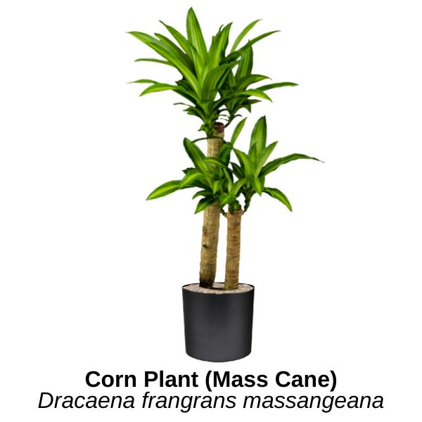 https://0201.nccdn.net/1_2/000/000/0bc/104/corn-plant-mass-cane.png