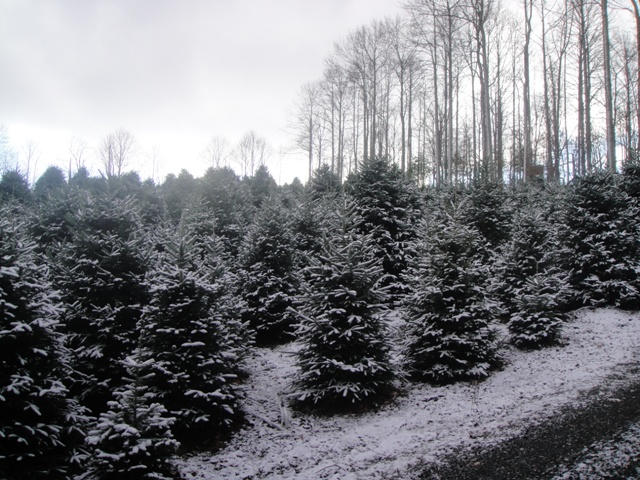 Another patch of Fraser firs with a fresh dusting of snow.