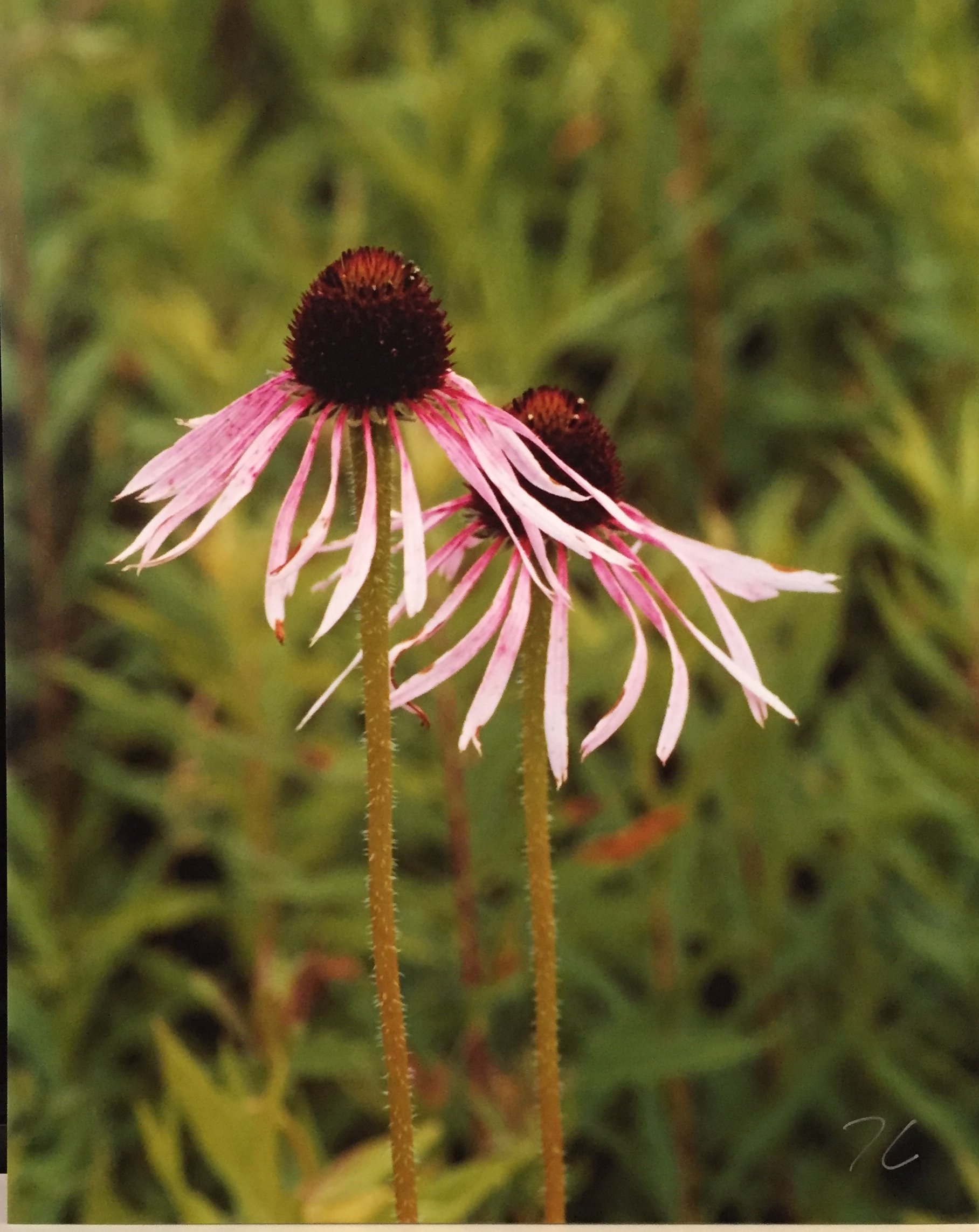 "Pale Prairie Coneflowers Photography 8"" X 10"" $25."