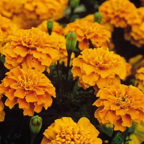Bonanza Orange